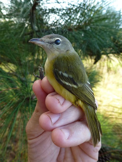 Bell's Vireo (Vireo bellii)[2] is a small North American songbird. It is 4-3/4 to 5 inches (12–13 cm) in length, dull olive-gray above and whitish below. It has a faint white eye ring and faint wing bars.