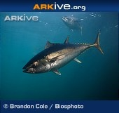 The southern bluefin tuna is ARKive's #endangered species of the week.