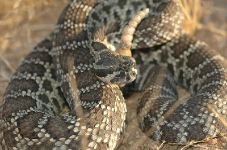Rattlesnake Southern Pacific Rattler Animal Kingdom Pinterest Photos The O Jays And