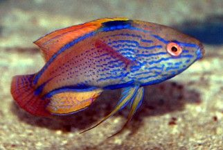 Wrasse Fish, Reef Safe Wrasse Fish - Aquatic Connection