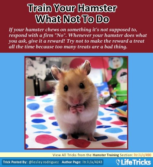 Hamster Training - Train Your Hamster What Not to Do