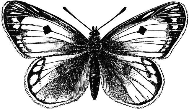 papillon butterfly graphic dessin noir et blanc graphik design tattoo pinterest. Black Bedroom Furniture Sets. Home Design Ideas