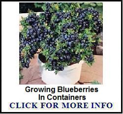 The lowbush blueberry is the most cold hardy of all blueberry plants. Lowbush blueberries reach a maximum height of about a foot and a half and produce small, sweet berries.