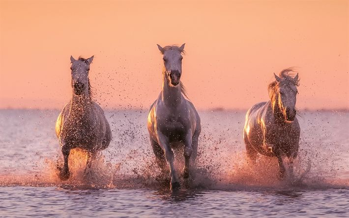 Download wallpapers white horses, sunset, river, evening, horses