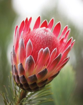 Sugarbush Protea - Eva Browning