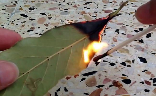 Nenhuma coleção de temperos é completa sem folhas de louro. Por milhares de anos, os seres humanos a utilizam em alimentos devido às suas propriedades de melhora de digestão, reforço respiratório e anti-inflamatório. Além de tempero, há uma outra ótima função para absorver os benefícios da folha de louro – você pode queimá-las com um fósforo. Este fogo intenso vai funcionar muito mais rápido do que fogo brando para liberar os compostos ativos das folhas de louro. Ao queimá-las e inalar o…