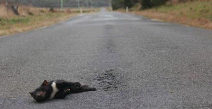 Ratusan Tasmanian Devil Mati Tertabrak di Jalan Raya  KONFRONTASI-Jalan raya ikut menyumbang kepunahan spesies Tasmanian Devil di Australia. Setidaknya 600 ekor Tasmanian devil tewas di jalan raya di Tasmania Australia tahun ini. Para ilmuwan menyatakan hal inilah yang menjadi salah satu alasan mengapa spesies yang terancam punah ini dilepasliarkan ke Maria Island sebuah pulau di timur Tasmania empat tahun lalu.  Namun sejumlah kelompok konservasi satwa liar mengatakan spesies lain di pulau…