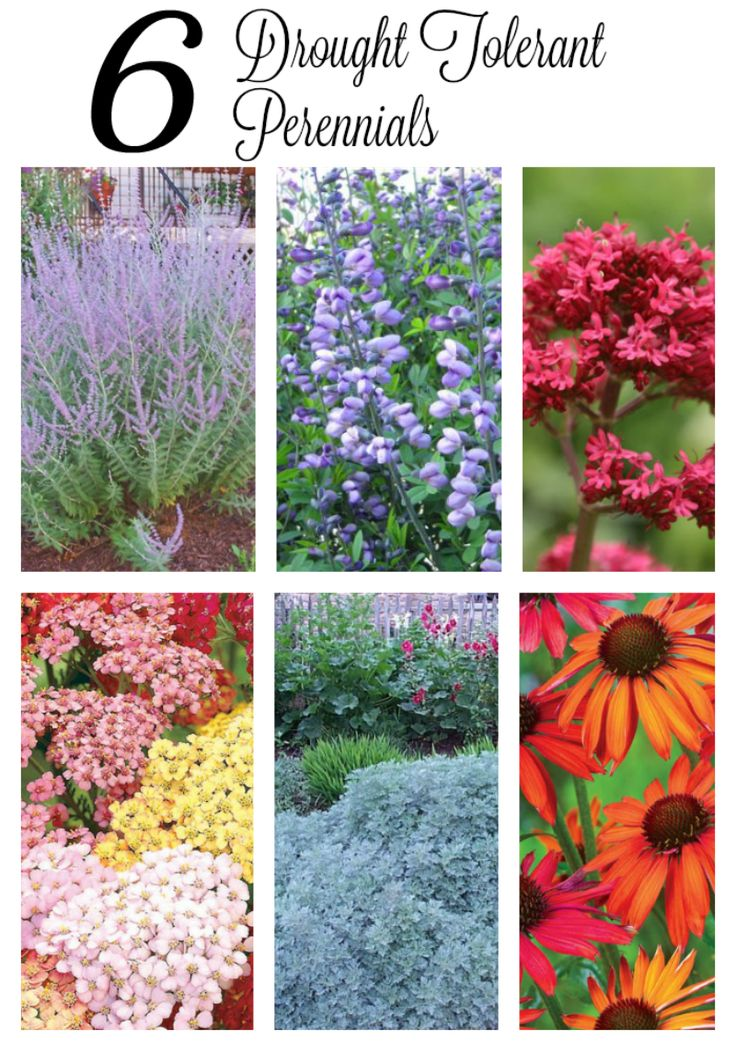 Do  you have a hot sunny garden where most of your plants literally wilt in the afternoon sun? My secret garden is exactly that - plus it's filled with sandy soil that doesn't hold water at all. This year, I'm going to look for drought tolerant flowers like these six that can withstand hot July sun and lack of rain. Gardening will be a pleasure again.