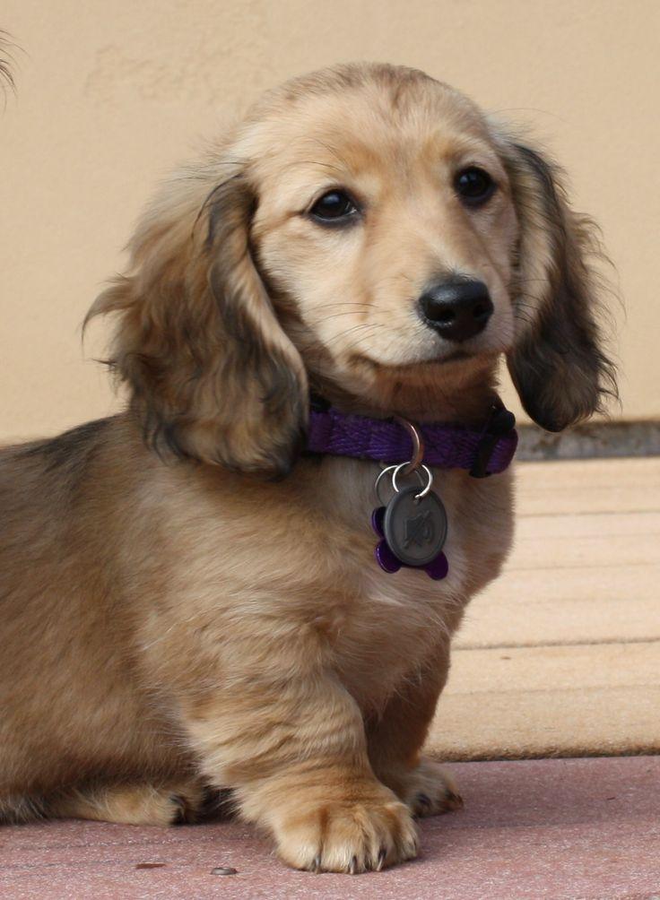 Chloe, longhaired shaded cream miniature dachshund                                                                                                                                                                                 More
