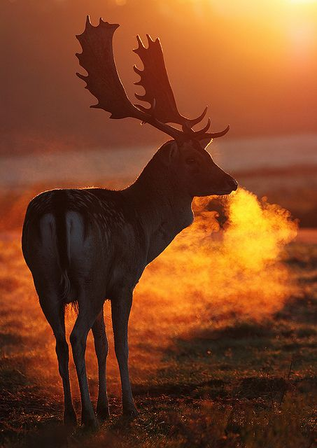 Fallow Deer stag's breath at sunrise by Mike Spencer... Beautiful!