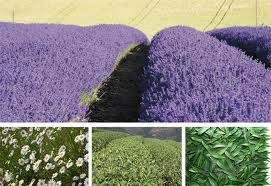 health and wellbeing / Lavender Flowers for Essential Oils