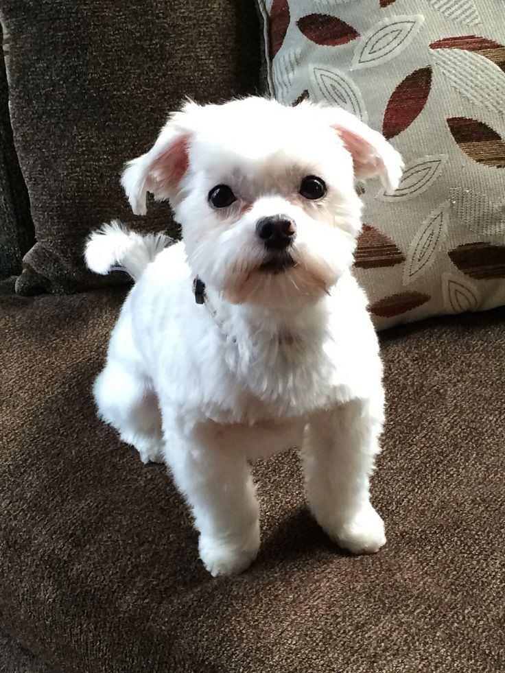 Cute Maltese Haircuts