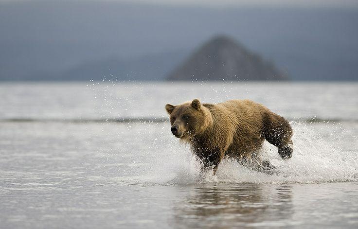 Charging bear. by Igor Shpilenok, via 500px