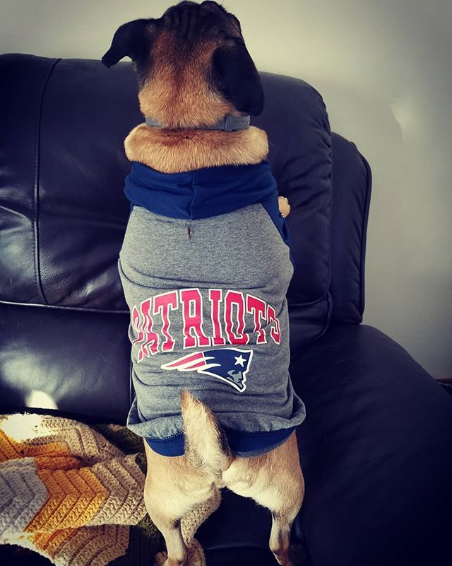 Hunter is ready for the #patriots game today. #newenglandpatriots #puggle #poxer #pets_of_our_world #petsofinstagram #dogsofinstagram