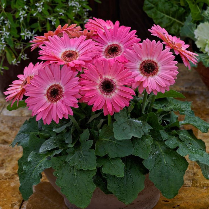 Gerbera Majorette Pink Halo   National Garden Bureau   New For 2018 This  Gerbera Will Be Perfect For Containers And Patio Pots! With This Bright  Color And ...