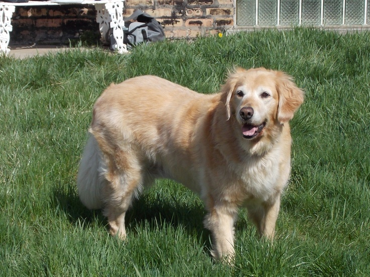This is Maggie - 8 yrs. She is overweight & needs to lose a few lbs. She is on a thyroid med. She is potty & crate trained, loves kids, rides well in a car, walks well on leash & no cats. She is mischievous if left alone so she needs to be crated. Maggie loves toys & belly rubs & is looking for a forever home & is at As Good As Gold Golden Retriever Rescue in Northern Illinois.