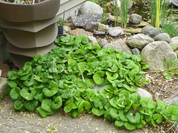 Canadian Wild Ginger is a wonderful groundcover for dry shade.