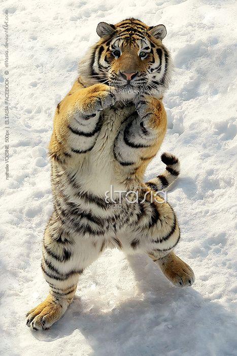 La fotografa Nathalie Voisine, hizo esta toma del tigre de Amur (o tigre siberiano), llamado Nashka,  en el Zoológico de Saint-Félicien, Quebec (Canadá).
