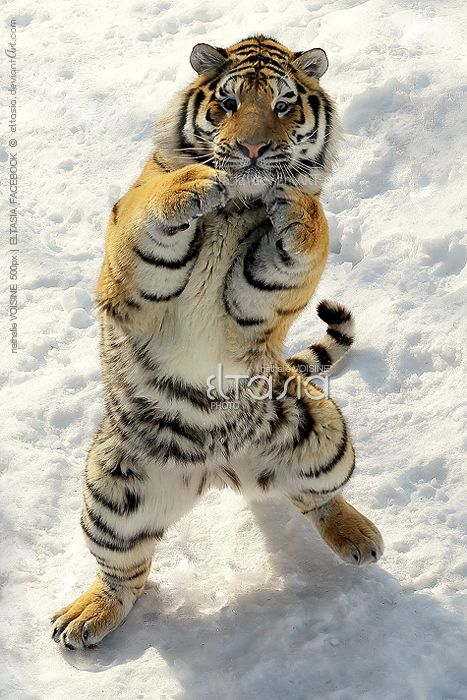 Tiger Boxer