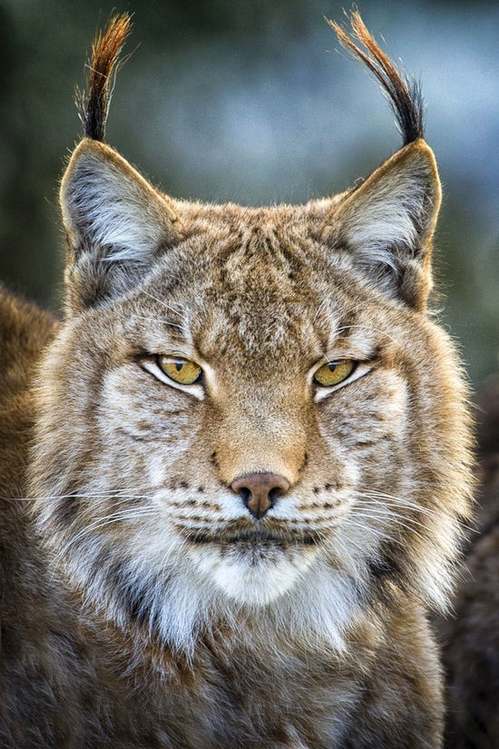 such a gorgeous wild cat, the linx
