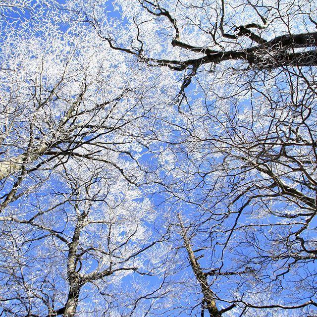 【haiirototoro】さんのInstagramをピンしています。 《〜7年前の立冬のころに〜 みあげたら 霧氷の森 冬なのに 花がさきほこってるみたい  あれからもう7年もたつんですね  あのころは 仕事でしょっちゅう大台ヶ原にかよってたのに いまでは 年に1回もいかなくなってしまいました  #大台ヶ原 #大台ケ原 #oodaigahara #霧氷 #rime #hoarfrost #forest #樹氷 #青空 #bluesky #森 #forest #よしくま #冬 #winter #上北山村 #kamikitayama #奈良 #nara #japan》