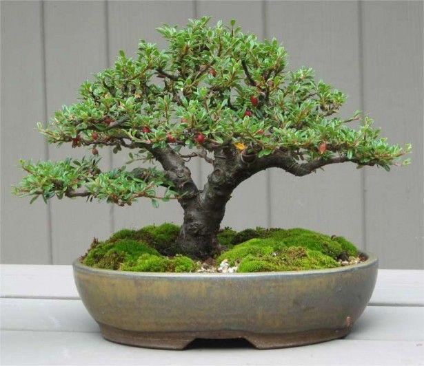 Bonsai Tree Care – Patience Is A Virtue. #bonsaitreecare Expert Bonsai Tree Care for Beginners – The Right Care for Bonsai Trees. Leisure / Hobbies / The Art of Tree Care. How To Take Care of a Bonsai Tree. #howtotakecareofabonsaitree Cotoneaster Bonsai Tree http://uniqsource.com/leisure/bonsai-tree-care/