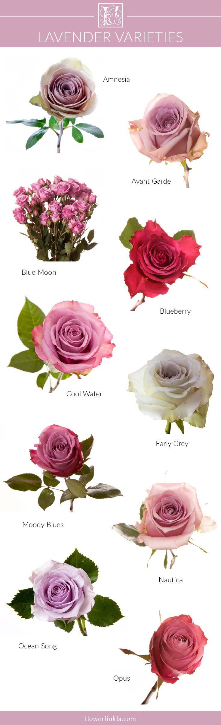 Pictures Of Lavender Rose Varieties Kidskunst Info
