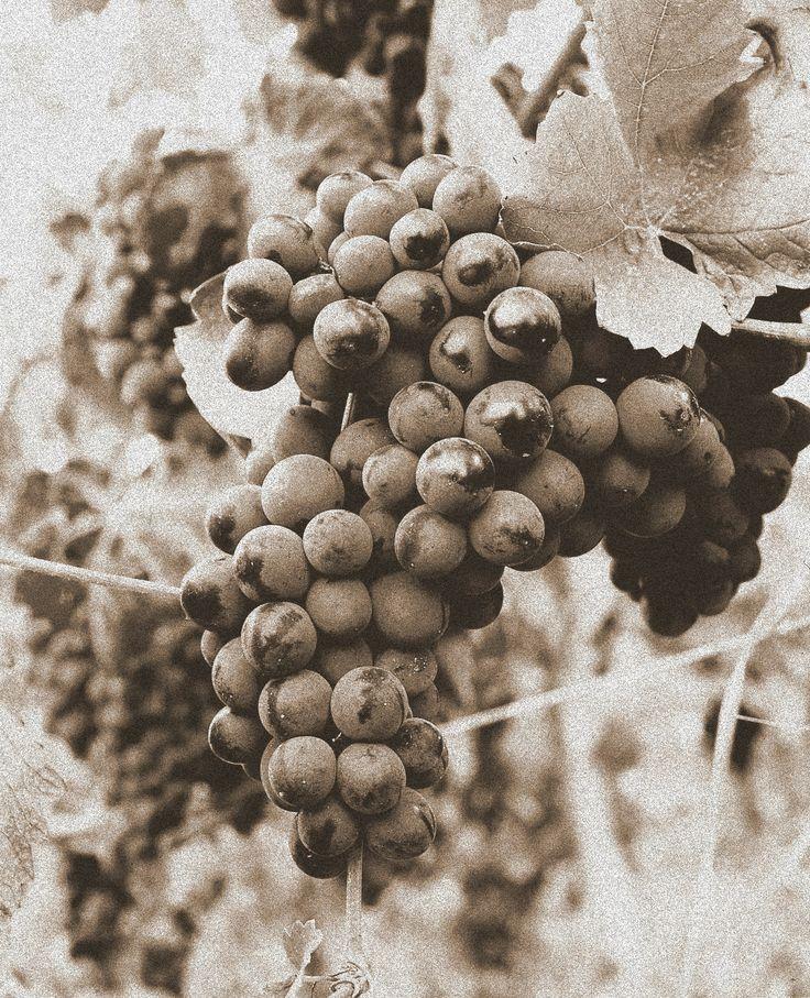 Bunch of Pinot Noir - Cantina Conte Vistarino