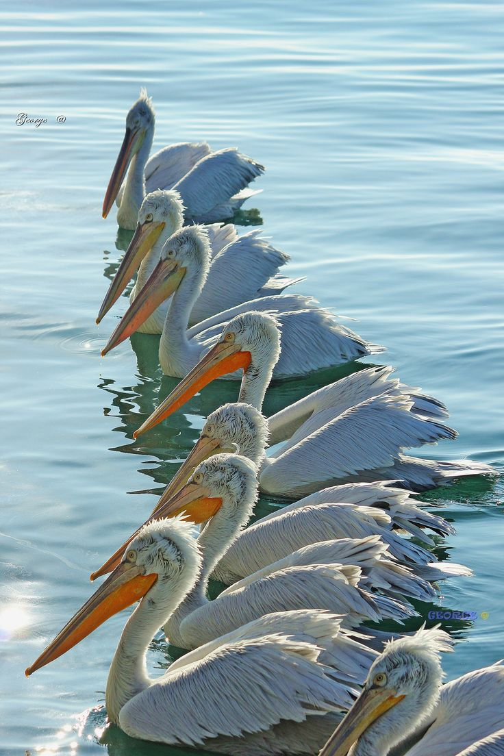 https://flic.kr/p/PHLQy3 | Pelicans flock Swimming in Row | Pelicans flock Swimming in Row  . A large group of pelicans had gathered to be photographed.   It is really interesting to watching  them as they gather in a large cluster in a  row . Dalmatian Pelican (Pelecanus crispus) - Αργυροπελεκάνοι .