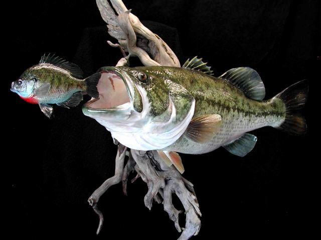 9 largemouth bass reproduction on driftwood base for wall for How to mount a fish