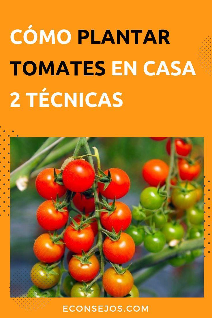 Aprende a plantar tomates en una maceta y en el huerto