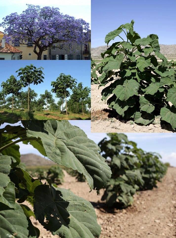Kiri, el árbol total contra el calentamiento global. Conocido como árbol Emperatriz o Paulownia tormentosa, es originario de China. Gracias a sus características, podría ser de gran ayuda contra el calentamiento global, la contaminación y la desertificación del planeta.