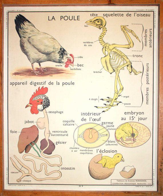 Anatomie  Animaux  Vintage  Affiche scolaire par LeRetroMarket, €64.00