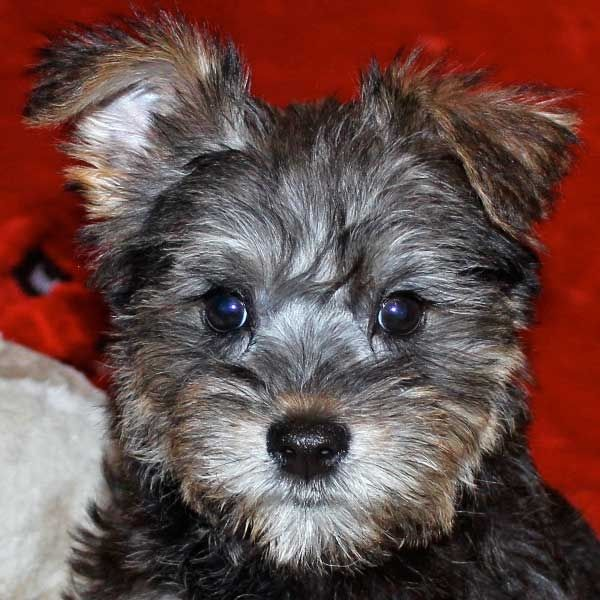 The Gallery For Yorkie And English Bulldog Mix Yorkie Schnoodle Puppy English Bulldog