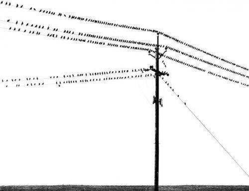 Aart Klein | Spreeuwen op telefoonleiding, Noord-Ierland (1965)