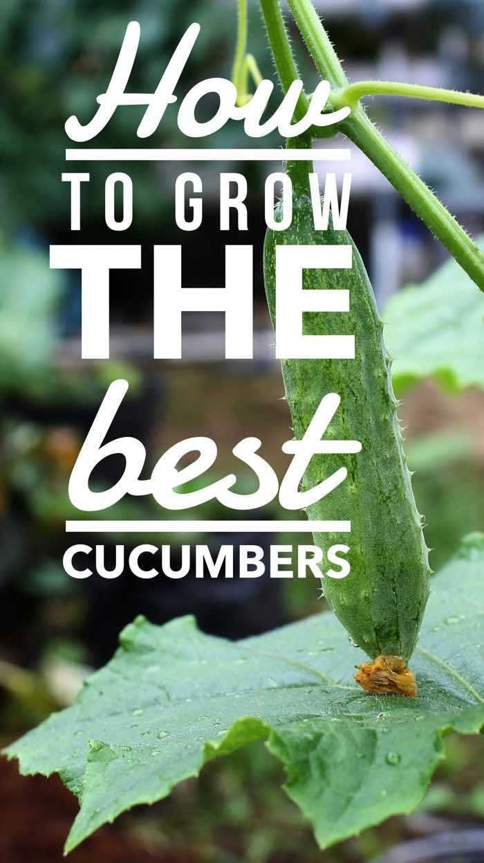 how to grow the best cucumbers