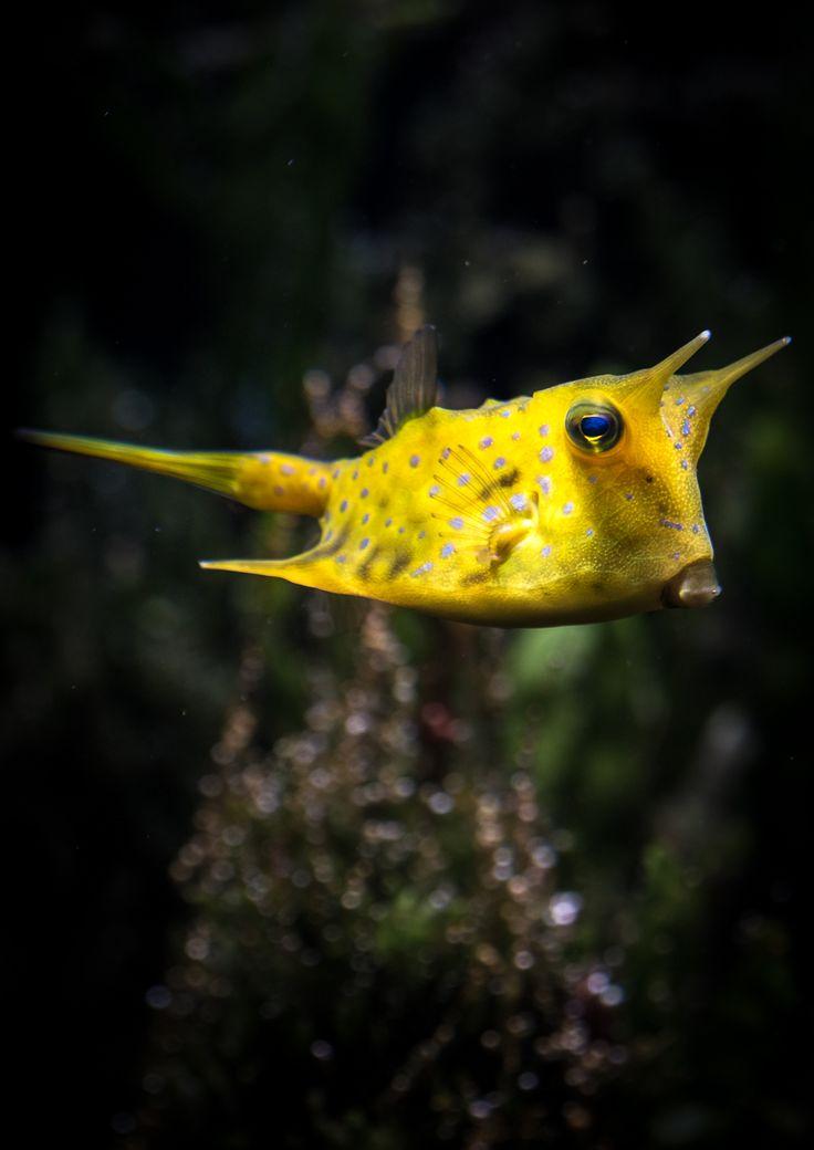 DerKuhfisch(Lactoria cornuta), auchLanghornkofferfischoder(Gehörnter) Kuhkofferfisch, gehört zur Familie derKofferfische.  Der Körper des Kuhfisches ist wie der anderer Kofferfische durch einenKnochenpanzergeschützt. Nur bei Augen, Maul, Kiemen, After und Flossen ist dieser nicht vorhanden. Kofferfische haben keinenKiemendeckel, sie können nur durch das Heben und Senken des Mundhöhlenbodens die nötige Wasserzirkulation erreichen.