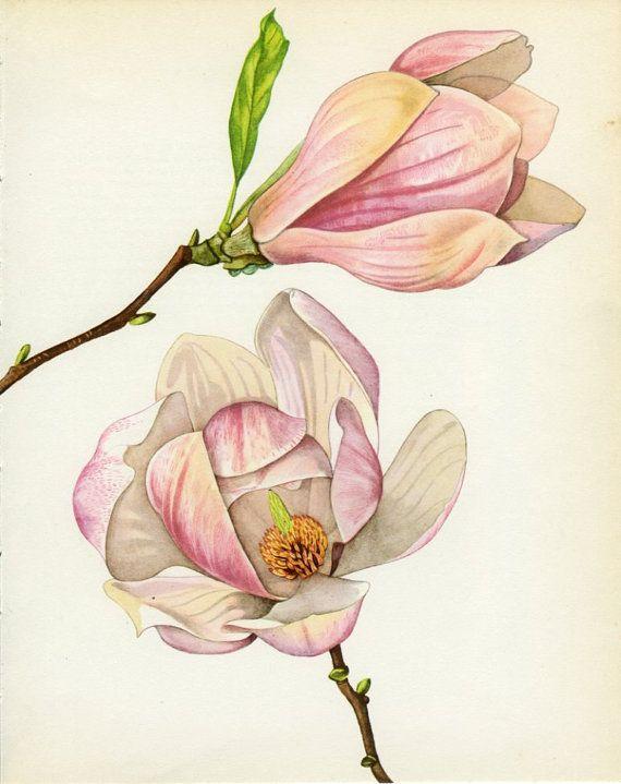 Árbol Vintage Print, Magnolia de Soulange, libro botánica placa 79, Ornamental, naturaleza, paisaje, enmarcado, 1969, Choc
