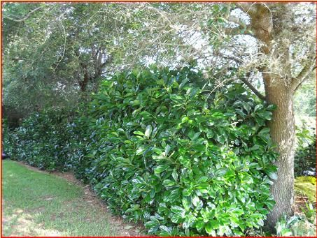 hedge plants walter 39 s awabuki viburnum large native shrub is so densely packed with small. Black Bedroom Furniture Sets. Home Design Ideas
