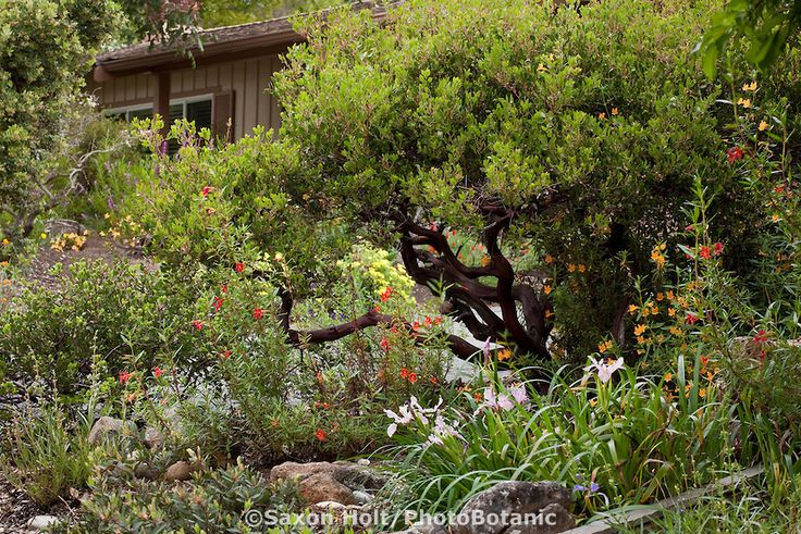 17 best images about ca native landscaping ideas on for Southern california native plants