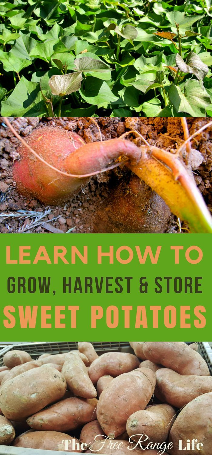 Weeds in flower beds with potato like roots - How To Grow Harvest And Store Sweet Potatoes