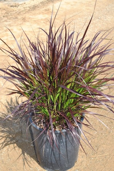 Pennisetum setaceum cupreum - Red Fountain Grass (5 Gal ...