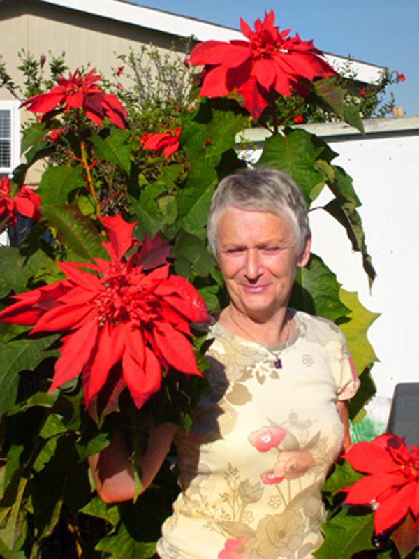 Pammy was given a small Poinsettia plant for Christmas . . . she planted it in the side yard three years ago. Using Rainbow Farms Fertilizer, look at it now! Our fertilizer is great for flowers and fruit trees!