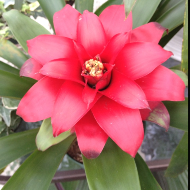 Guzmania bromeliads a must house plant garden jewels for Beautiful flowers to plant in your garden