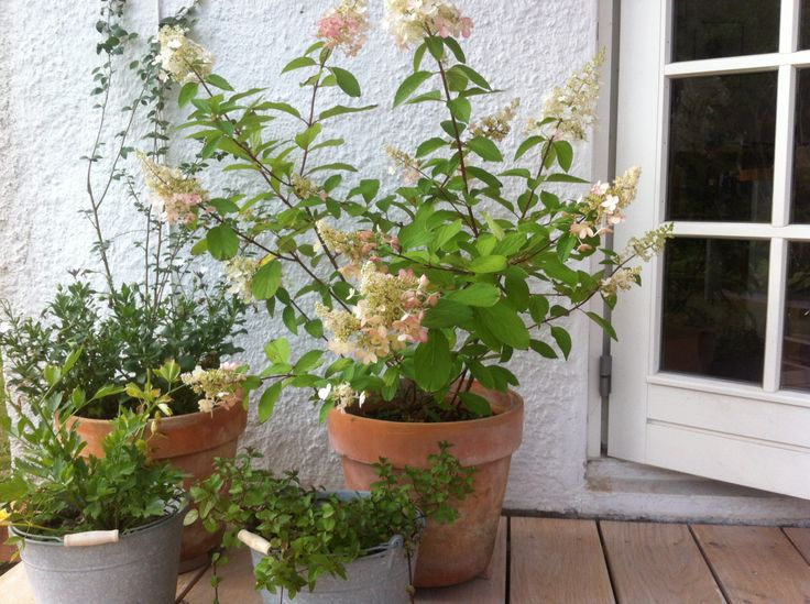 Hydrangea (Pinky Winky) in clay pot, late summer colours
