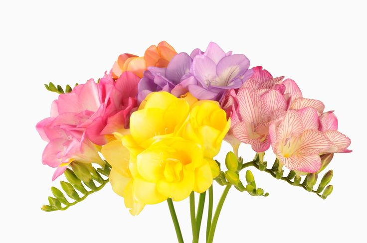 Freesia has an intoxicating scent that would I like to add to my garden.