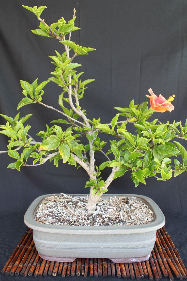 How to take care of a bonsai tree - Hibiscus Bonsai Bonsai Ba Bonsai Tree Careflowering
