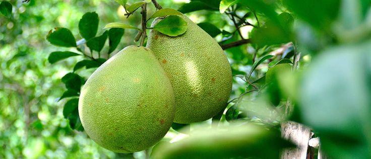 Le pamplemousse : Citrus Maxima Le pamplemoussier est un arbre fruitier originaire d'Asie du Sud-Est que l'on retrouve en culture et dans les jardins de La Réunion. Cet agrume est un petit arbre pouvant atteindre dix mètres de hauteur et épineux. Son fruit, le pamplemousse peut mesurer entre 10 et 30 cm de diamètre, de […]