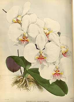Orchid: Phalaenopsis amabilis (L.) Blume var. dayana / Warner, R., Williams, B.S., Orchid album, vol. 1882: t. 11  (1882) - 112674