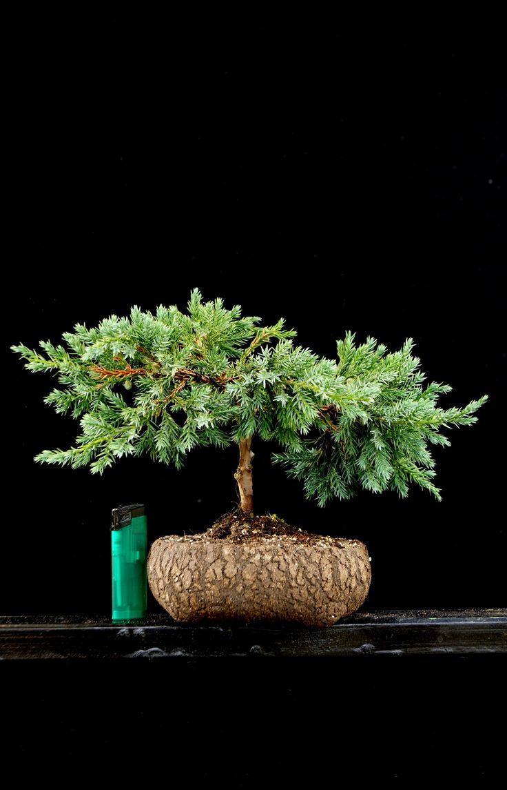 Potter: Roman Husmann  Plant: Ulrich Fendrich www.bonsai-werkstatt-fendrich.de